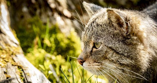 Wildkatze (
