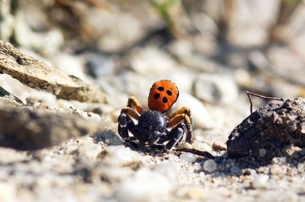 Von echten Läufern und falschen Marienkäfern Neue Studie zu Laufkäfern und Spinnen in Grünhaus