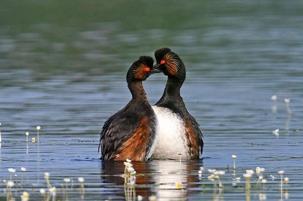 """""""Erste Hilfe"""" für Schwarzhalstaucher Besserer Schutz für Brutvögel an der Westerwälder Seenplatte"""