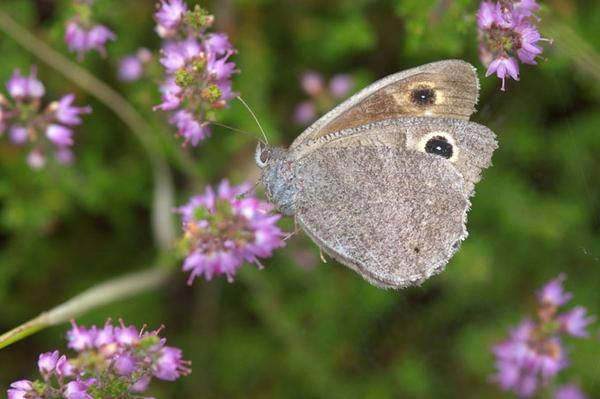 Dem Samtfalter auf der Spur Neue Ergebnisse zur Schmetterlingswelt in Grünhaus
