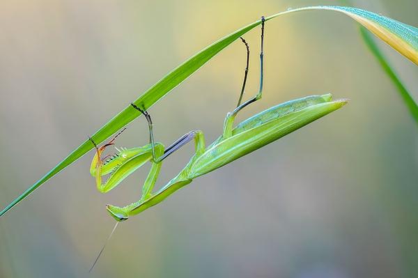 Die Gottesanbeterin im Fokus Grünhaus: Neue Heimat für seltene Fangschrecke