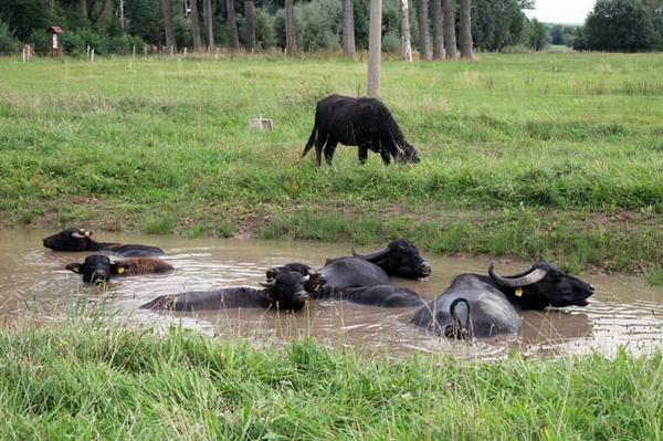 Schöner wohnen auf der Büffelweide Artenschutz mit Karpatenbüffeln