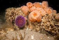 Zahlreiche Meeresorganismen wachsen auf den von Greenpeace vor Sylt versenkten Steinen.