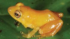 Abfärbende Froschart entdeckt