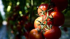 Erbgut der Tomate entziffert
