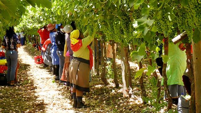 Arbeiterinnen auf südafrikanischen Weinplantagen leiden häufig unter unzumutbaren Arbeitsbedingungen.