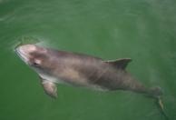 Schweinswal an der Wasseroberfläche