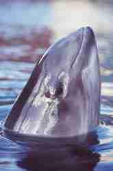 Kopf eines Schweinswal ragt aus dem Wasser.